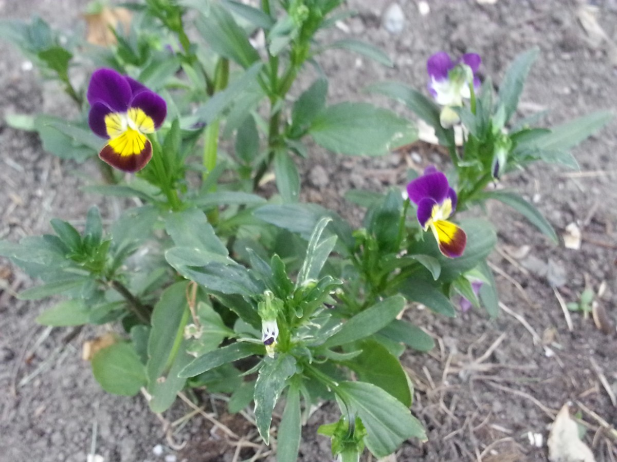 plante médicinale - Pensée sauvage