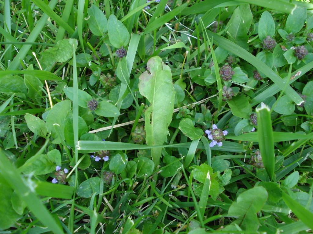 Démonstration, feuilles et fleurs prunelle vues de haut.