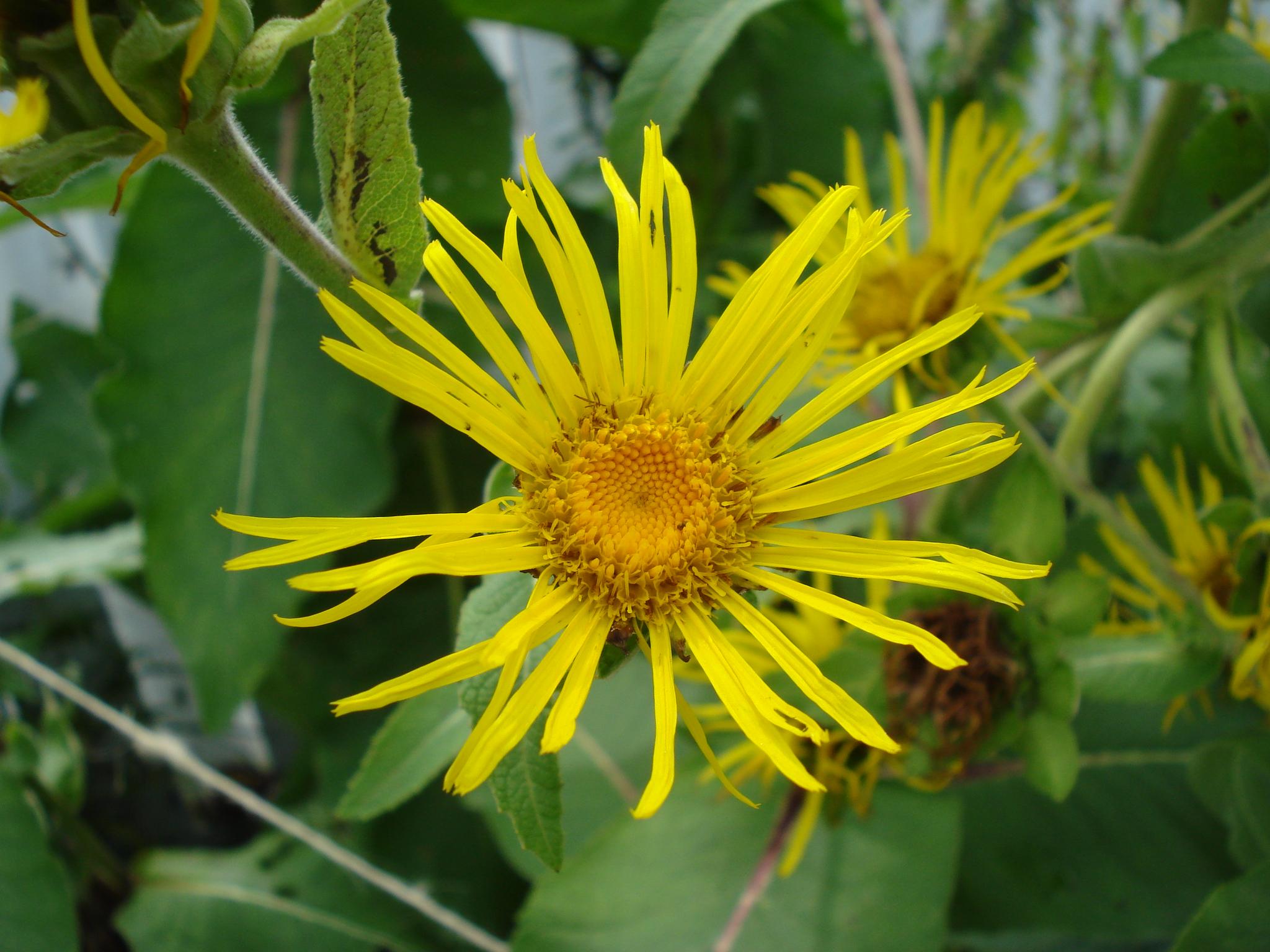Fleur d'Aunée